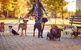Dogs walking in the park and enjoying with dog walker stock images