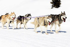 Dogs walking on the snow Royalty Free Stock Images