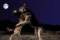 Dogs waltz. Dogs dancing at full moon night Stock Photography