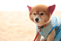 Cute dog wearing a shirt Royalty Free Stock Images