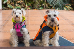 Dogs wearing Coats Royalty Free Stock Photos