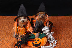 Dogs wearing costumes. Two Yorkshire-Terrier wearing witches hats Royalty Free Stock Photography