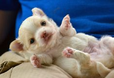 Dogs. 3 week old Purebred creme sable with white markings tiny long-coated chihuahua puppy, laying on her back with feet up Royalty Free Stock Images