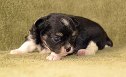 Dogs. 3 week old Purebred tricolor black tan with white markings tiny long-coated chihuahua puppy, laying down on a soft blanket Stock Photo