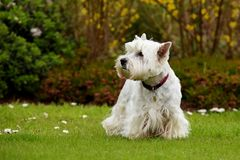 West Highland White Terrier. Dogs - West Highland White Terrier royalty free stock image