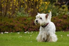 West Highland White Terrier. Dogs - West Highland White Terrier Royalty Free Stock Photo