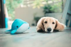 Dogs and whales. One afternoon in Okinawa, we came to a cafe on the island where the owner had a lovely sausage dog. I put his favorite toys beside him and took royalty free stock images