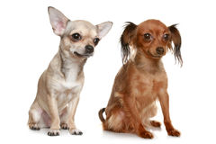 Dogs on a white background. Long-haired russian terrier and chihuahua on white background stock photo