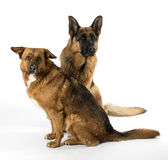 Dogs on the white background Stock Image