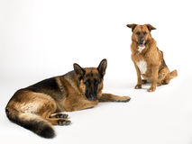 Dogs on the white background Royalty Free Stock Photo