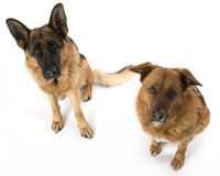 Dogs on the white background Royalty Free Stock Image