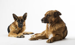 Dogs on the white background Royalty Free Stock Photos