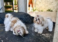 Dogs white. Cute small two dogs playing at home Royalty Free Stock Photos