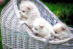 Dogs: Family Spitz, puppies,  tree see on left side. Dogs: White on a green backgroundnnDogs: Family Spitz, puppies, dogs-parentsnDaytime photography of pets stock photography