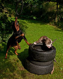 Dogs who train the muscle Stock Image