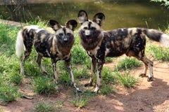 dogs wild Arkivbild