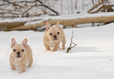 Dogs in the winter Stock Image