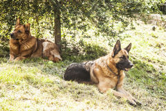Dogs wolves Stock Image