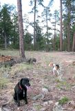 Dogs in the Woods Royalty Free Stock Photography