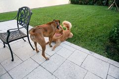 Two dogs playing in the grass at sunset Stock Images