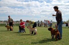 Dogshow de cacib de Sharpei Photographie stock