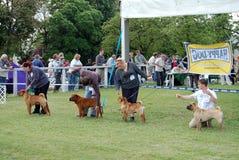 Dogshow do cacib de Sharpei Fotos de Stock