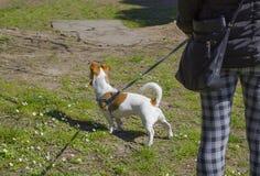 Dogsitter que camina con el terrier de Russell del enchufe Perro en un césped verde fotografía de archivo