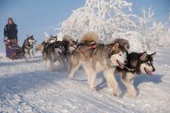 Dogsled alaskabo malamute Fotografering för Bildbyråer
