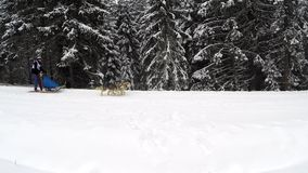 Dogsled competition with husky dogs stock footage