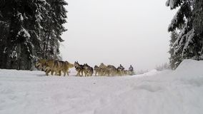 Dogsled competition with husky dogs stock video