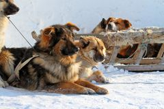 Dogsled Royalty Free Stock Photo