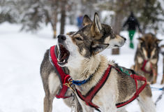 Dogsled dogs howling Stock Photos