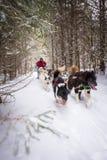 Dogsled osoby i drużyny Śnieżny ślad w drewno zimy sporcie Zdjęcia Stock