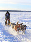 The dogsled rushes on the tundra Stock Photo