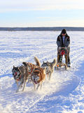 The dogsled rushes on the tundra Royalty Free Stock Photography