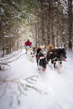 Dogsled Team and Person Snowy Trail in Woods Winter Sport. A person in red coat and team of dogs go dogsledding on a snow trail in the woods of Minnesota Stock Photos