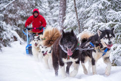 Dogsled Team and Person Snowy Trail in Woods Winter Sport. A person in red coat and team of dogs go dogsledding on a snow trail in the woods of Minnesota Royalty Free Stock Image