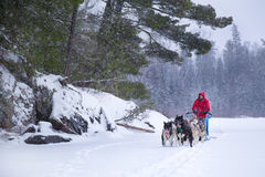 Dogsled Team and Person Snowy Trail in Woods Winter Sport. A person in red coat and team of dogs go dogsledding on a snow trail in the woods of Minnesota Royalty Free Stock Photography