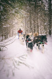 Dogsled Team and Person Snowy Trail in Woods Winter Sport. A person in red coat and team of dogs go dogsledding on a snow trail in the woods of Minnesota Stock Images