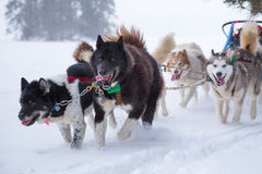 Dogsled Team Running on Snowy Trail in Winter Woods. A team of sled dogs pulls a dogsled over the snow in the winter in Ely, Minnesota Stock Image