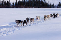 Dogsled team of siberian huskies out mushing Stock Images