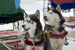 Dogsledding Royalty Free Stock Image