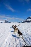 Dogsledding Image stock