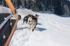 Dogsledding Стоковое Фото