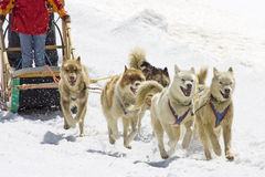 Dogsledding Fotografia Stock