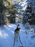 Dogsledding in the deep forest - Quebec. Dogsledding in the deep forest in Quebec Stock Images