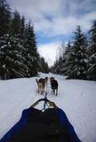 Dogsledding no vale de Callaghan, BC Imagens de Stock