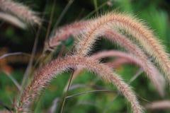 dogstail wiregrass Στοκ φωτογραφία με δικαίωμα ελεύθερης χρήσης