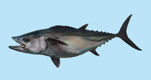 Dogtooth tuna fishing portrait Royalty Free Stock Images