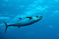 Dogtooth Tuna In Water Of Indian Ocean, Maldives Stock Photos